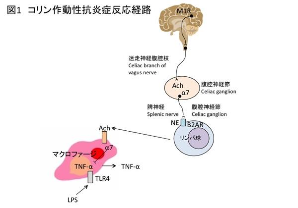 性 体 ニコチン アセチルコリン 受容